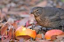 Female blackbird in a garden ©Fergus Gill/NatureScot