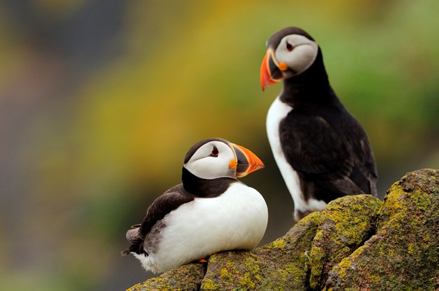 Puffins on the Isle of May - credit SNH-Lorne Gill