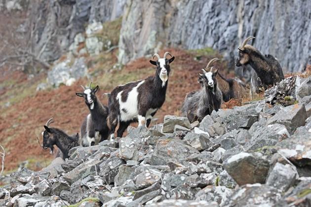 NE Mammal Atlas - Feral Goats at Laggan photo by Adam Francis