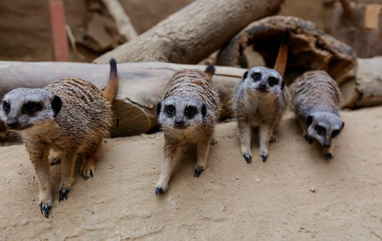 Tropical World meerkats
