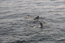 Basking shark feeding at the surface (c)SNH: Basking shark feeding at the surface (c)SNH