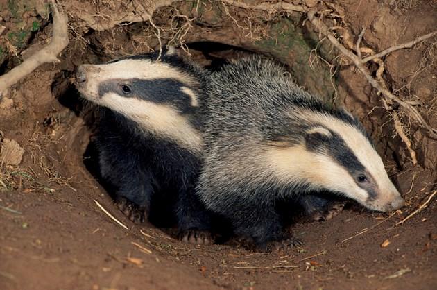 Get 'sett' to celebrate Scottish Badger Week in May: badger3blcampbell