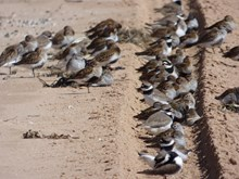 Wader flock on quieter beach ©Catriona Reid/SNH