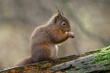 Red squirrel: Red squirrel. Please credit Scottish Natural Heritage (SNH).