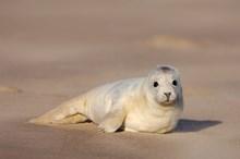 Grey seal pup ©Lorne Gill/NatureScot