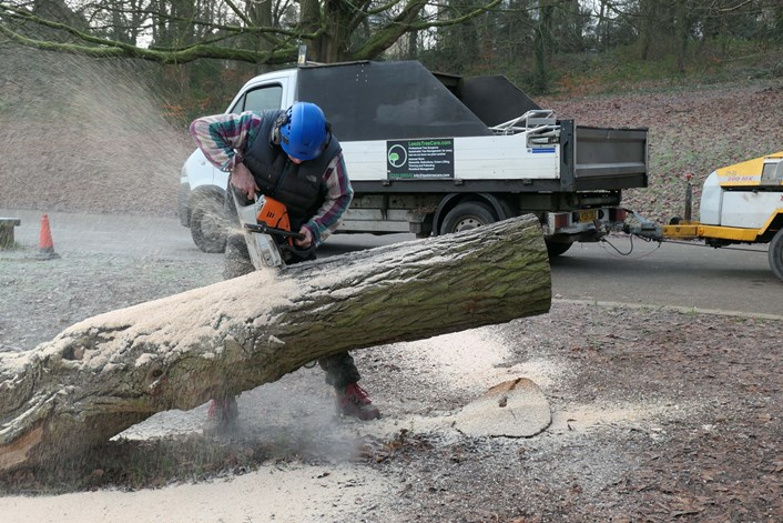 Willow Sawing Trunk
