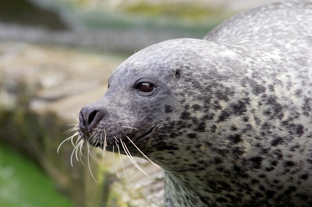 Surveys show geographical divide in harbour seal numbers: Common seal ©Lorne Gill SNH