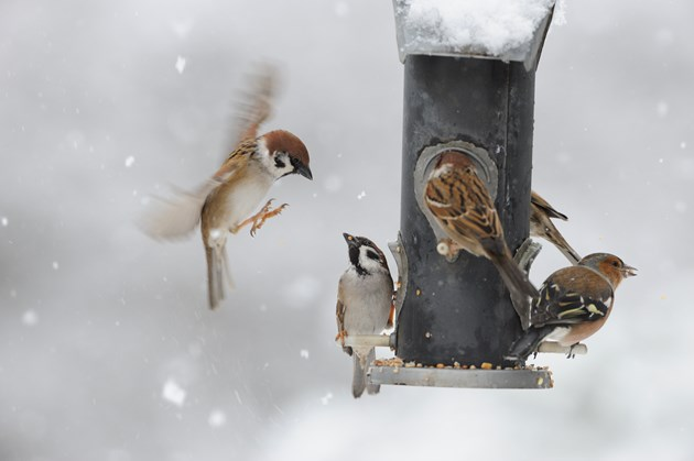 Scots want to do more for wildlife: 10 easy ways to help: Garden birds on feeder - Image by Lorne Gill from NatureScot