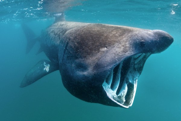 Discovering why basking sharks come to Scotland: Basking shark (c)Alex Mustard