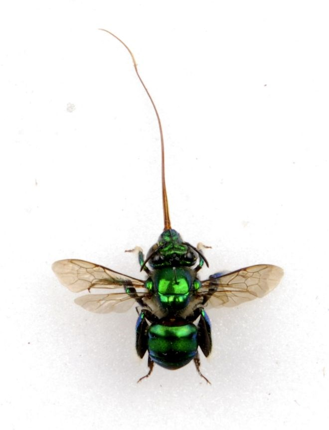 Orchid Bee: Orchid Bee (Latin name Euglossine Bee). Orchid bees live in South America and are only the size of a human fingernail. Code Cracker players will be asked to find out fascinating facts about minibeasts like these.