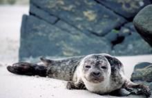 Harbour Seal pup-©Lorne Gill-NatureScot