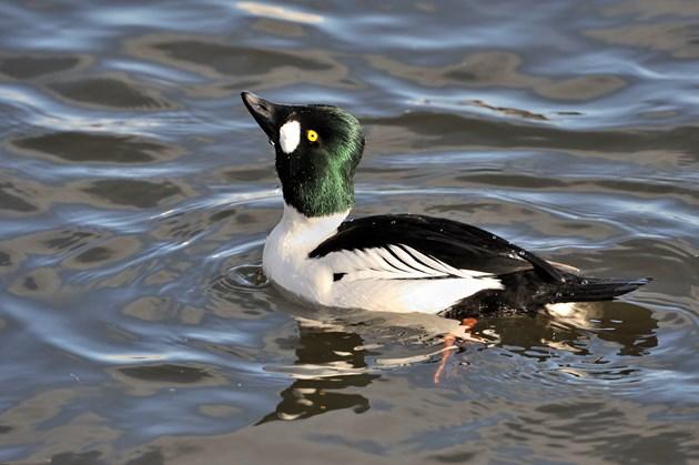 NatureScot warns Muir of Dinnet visitors against disturbing birds: A male goldeneye duck ©Lorne Gill-NatureScot