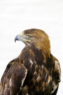 Golden Eagle: Copyright Lorne Gill / SNH