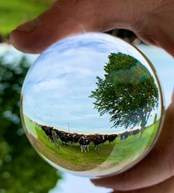 Crystal ball two Credit James Muir, an Arla farmer from Staffordshire  Twitter muirtwit