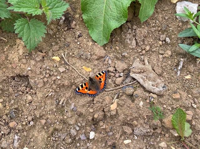 Butterfly at Finedon site