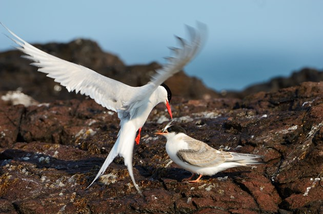 Mink project Arctic tern in flight