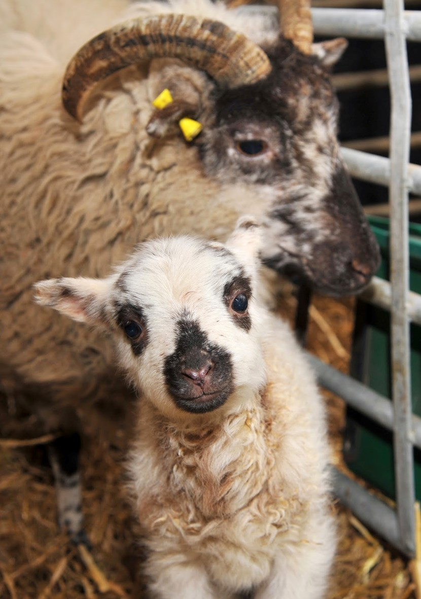 Don't miss out on Springtime Babies and Rare Breeds weekend at Home Farm: animals-may15.jpg