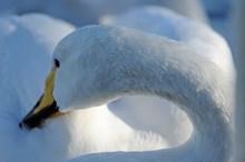 WhooperSwan ©Lorne GIll/NatureScot