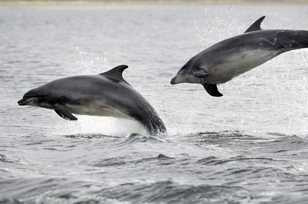 PAW Scotland warns of risky dolphin and whale encounters in Scotland this summer: Bottlenose dolphins at Chanonry Point, Moray Firth (C) SNH