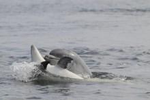 Juvenile bottlenose dolphins at Chanonry Point, Moray Firth (C) SNH/Ben James: Juvenile bottlenose dolphins at Chanonry Point, Moray Firth (C) SNH/Ben James