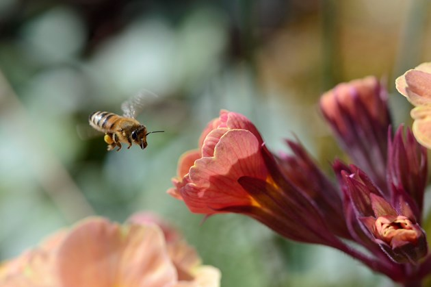 A honeybee flying towards a polyanthus flower: A honeybee flying towards a polyanthus flower