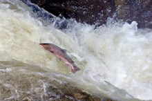 Salmon: Please credit SNH/Lorne Gill.