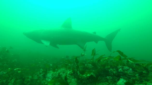 SharkCam basking shark project screenshot 3 ©WHOI