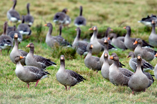 Sale of goose meat from Orkney extended: Greylag geese. ©Lorne Gill - SNH