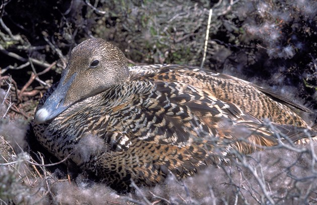 Animal mums go above and beyond: Eider duck on nest - 4841-15 - Credit SNH-Lorne Gill