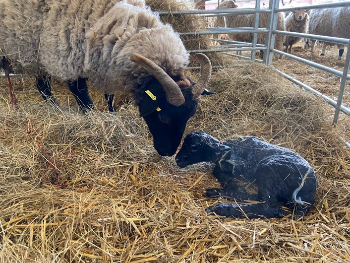 Home Farm's new arrivals: Home Farm at Temple Newsam has welcomed some new arrivals while the site is closed to the public.