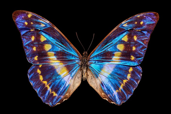 Inspiring insect project gives a close-up look inside a bug's life: Morpho 2500px