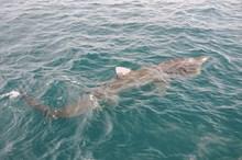 Basking shark near surface (c)SNH: Basking shark near surface (c)SNH