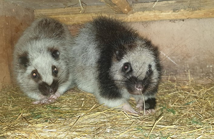 Night to remember for Bonnie and Clyde as new Nocturnal House opens at Lotherton: Cloud rats Bonnie and Clyde