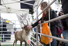 Reindeer-4