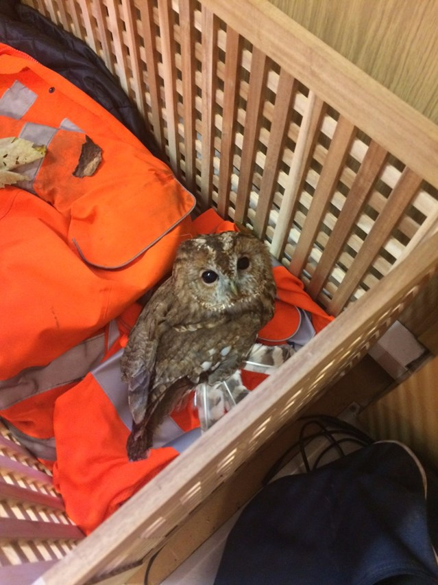 Lucky escape for 'Tony the Tawny' rescued from the railway after Storm Ophelia: Tony the Tawny waiting for the RSPB-2