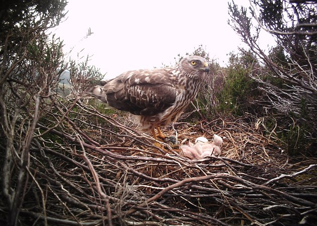 Adult female hen harrier with small young - credit Brian Etheridge