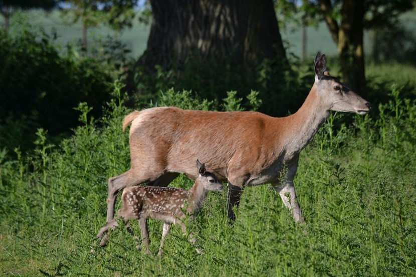 Visitors delighted as Lotherton welcomes 25 newborn fawns : dsc-7380.jpg