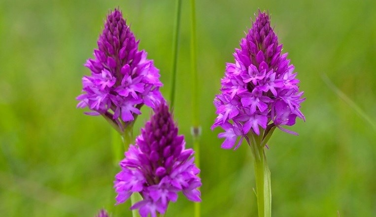 HS2 and wildlife volunteers in the West Midlands partner up to find new homes for precious wild orchids: Pyramidal Orchids translocation to Warwickshire nature reserve July 2020