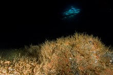 A small diamond-shaped hole in the roof of the cave gives the cave its name and shines a dim light on the dense clumps of oaten pipes hydroids that colonise the larger boulders. ©Graham Saunders