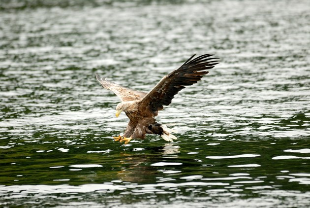 'First time in over a century' sea eagles return to Loch Lomond: Adult White-tailed eagle in flight. ©Lorne Gill/NatureScot