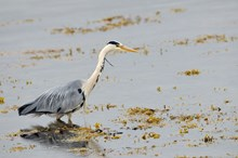 Grey Heron (Ardea cinerea) fishing at low tide. ©Lorne Gill