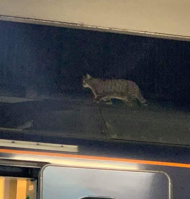 Cat walking along roof of Avanti West Coast train at Euston
