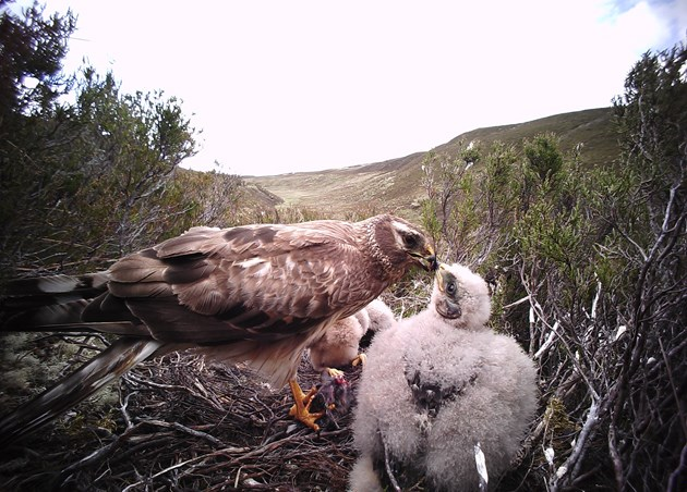 One-year old female hen harrier with young  - credit Brian Etheridge