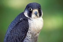 Craigellachie NNR - Peregrine Falcon: Craigellachie NNR - Peregrine Falcon (C) SNH - one-off use