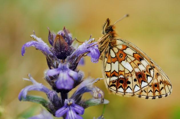 Small pearl-bordered fritillary ©Lorne Gill/NatureScot