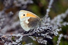 Small heath butterfly © Lorne Gill/NatureScot