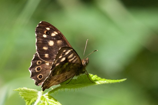 Speckled Wood - Peter Eeles - www.ukbutterflies.co.uk - imago - Thatcham - 15-Jul-09 (1)