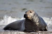 Grey Seal bull resting ©Lorne GIll/SNH