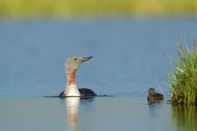 Mink project Red throated diver and chick