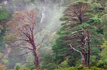 Scot's pine trees at Beinn Eighe NNR- Credit Lorne Gill-NatureScot